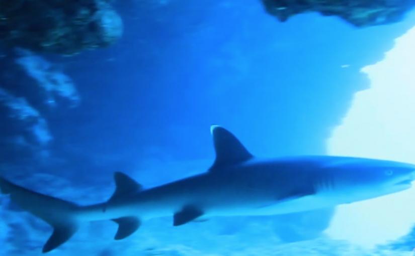 アポガマでサメ(ネムリブカ)と素潜り→ドリフトダイブ→サンゴ礁癒しダイブ
