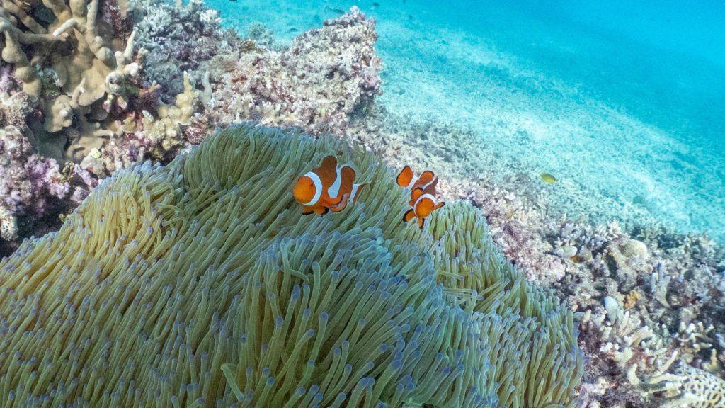 瀬底島カクレクマノミ